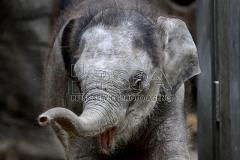Der Asiatische Elefant