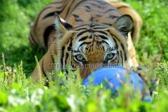 Der Malaysia-Tiger Indra