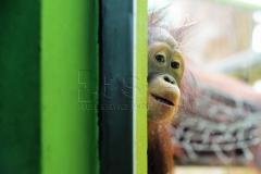 Die Borneo Orangutan Baby Cantik