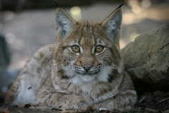 Carpathian lynx at Liberec Zoo