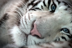 Twenty months old white Indian tiger