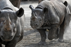 A black rhinos in the outdoor enclosure at Safari Park Dvur Kralove nad Labem