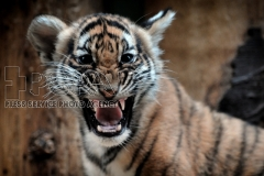 Three-month-old critically endangered Sumatran tiger cub