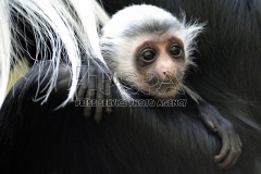 Angolan Colobus mother Verena