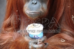 The Sumatran orangutan female called Mawar