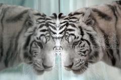 White Indian tiger female called Surya Bara