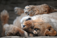 Barbary Lion called Lilly resting in enclosure