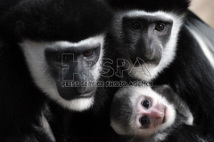 Angolan Colobus mother Sarka and 3-month-old baby at Usti nad Labem Zoo