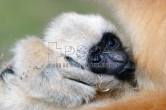 Five month old Northern white-cheeked gibbon