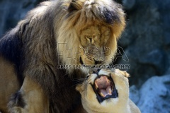 Barbary Lions called Lilly and Simon