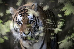 Siberian tiger male called Amur