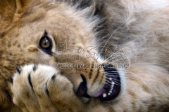 arbary Lion cub called Thembi