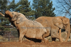 Elephants enjoy a mud bath at Safari Park in Dvur Kralove nad Labem