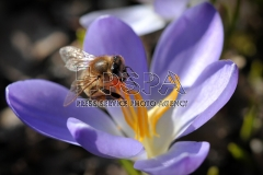 A bee collects pollen from the Crocus flowers.