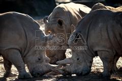 A black rhinos adult males fighting at Safari Park Dvur Kralove nad Labem.