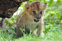 Barbary Lions cub at Liberec Zoo