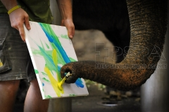 The elephant paints as part of an enrichment programme at Usti nad Labem Zoo.