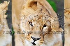 """Die Löwin mit dem Name """"Kivu"""""""
