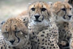 Cheetah quintuplets