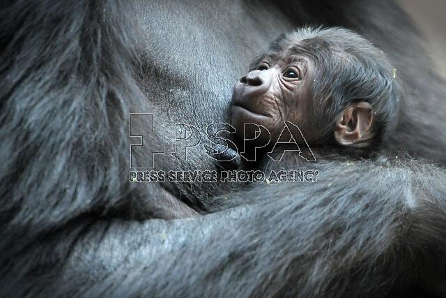 Gorily pražské Zoo (časosběr)